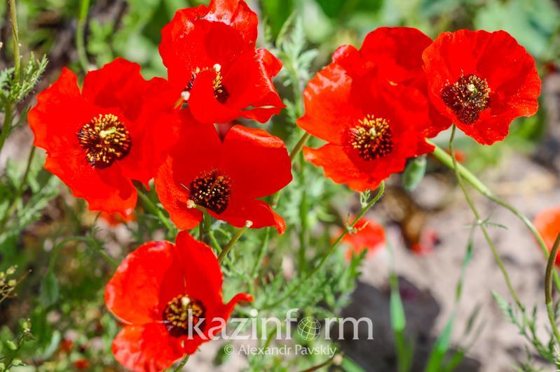 Маковые поля Алматы: вся палитра алого – фоторепортаж