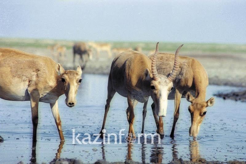 Окот сайгаков продолжается в Казахстане
