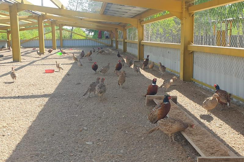 Фазанарий на 2000 птиц в год появился на территории «зеленого пояса» столицы