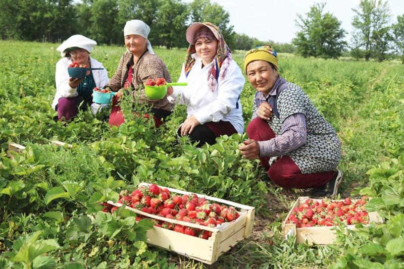 13 тонн клубники собрали в крестьянском хозяйстве Жамбылской области