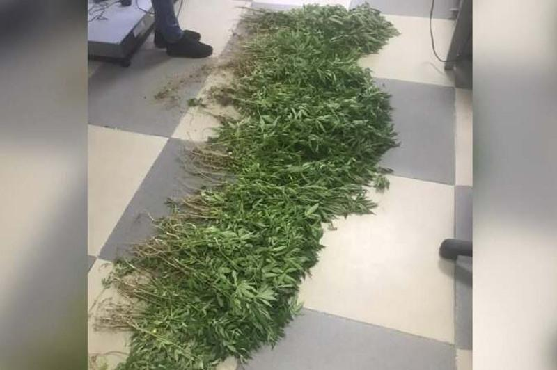 Почти 400 кустов конопли изъяли из огорода жителя Уштобе