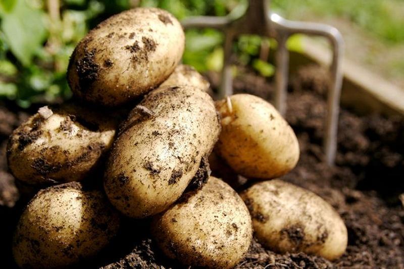 Қазақстанда картоптың қымбаттауына не ықпал етті – Министр есебі