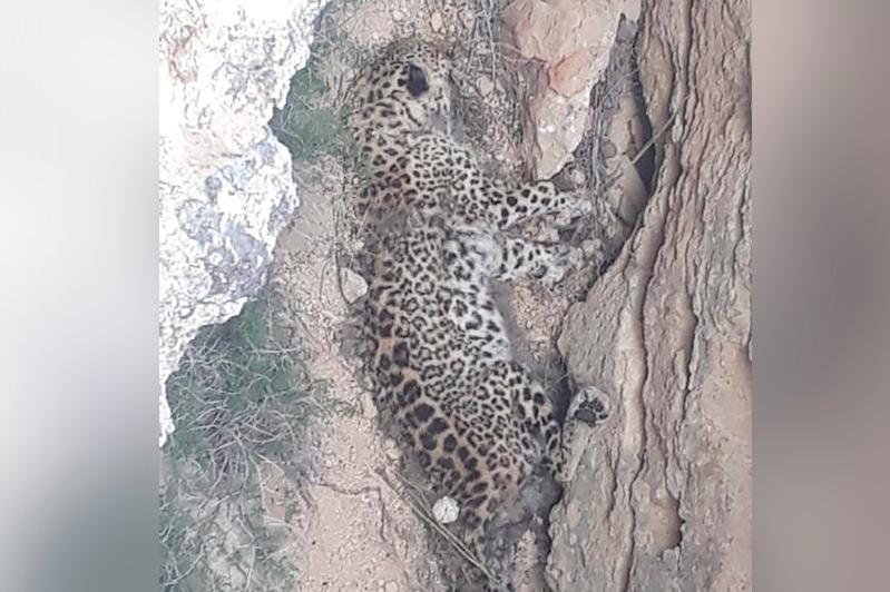 Мертвый леопард обнаружен в Мангистауской области