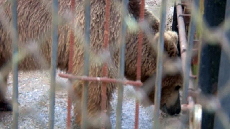 Голодающих цирковых медведей переселили в зоопарк Шымкента
