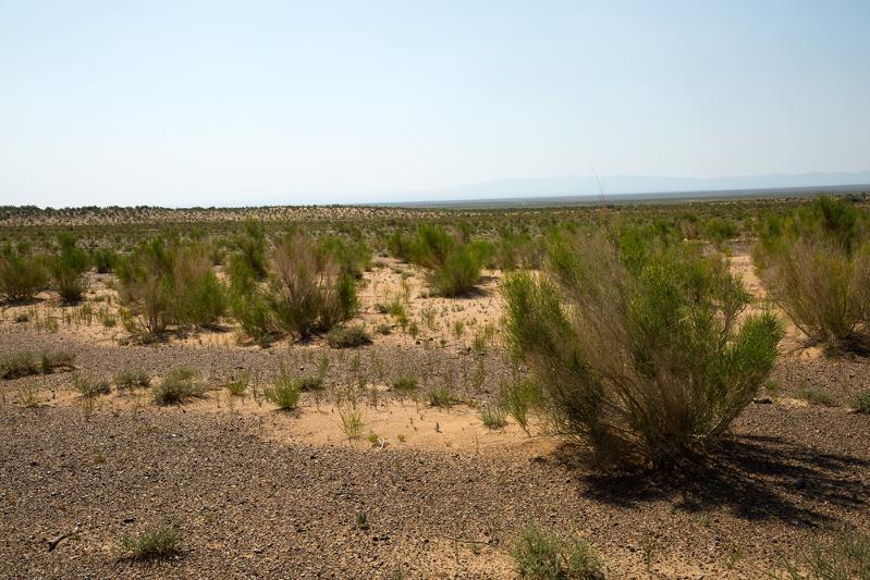 Аралдағы сексеуіл алқабы 20 жылда 337 мың гектарға жеткен