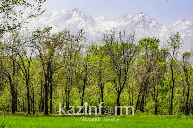 Какие деревья будут массово сажать в Казахстане