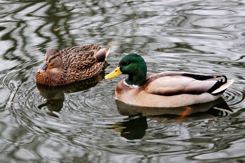 Заражение диких уток птичьим гриппом зарегистрировали в СКО