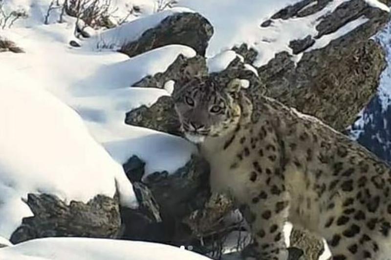 Алтай тауында ілбіс фототұзаққа түсіп қалды