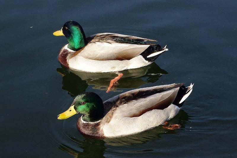 Ситуацию с заражением диких уток птичьим гриппом прокомментировали в СКО
