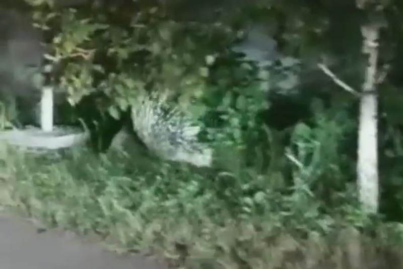 Дикобраза на улице в Есике засняли на видео