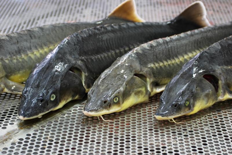 7 млн осетров планируют выпустить в рыбохозяйственные водоемы в РК