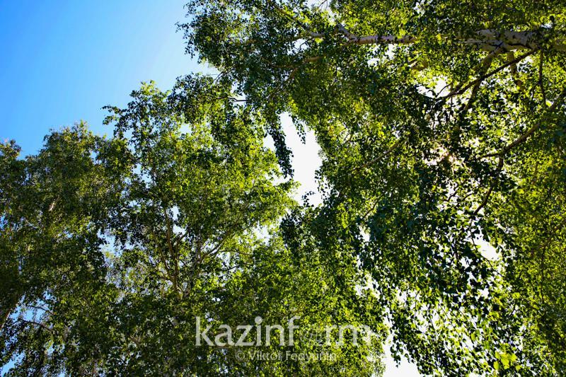 Около 130 млн деревьев планируют посадить в Казахстане в этом году