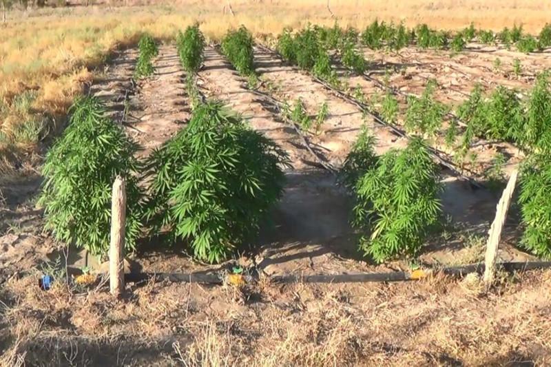 Крупный наркопосев обнаружили в Кызылординской области
