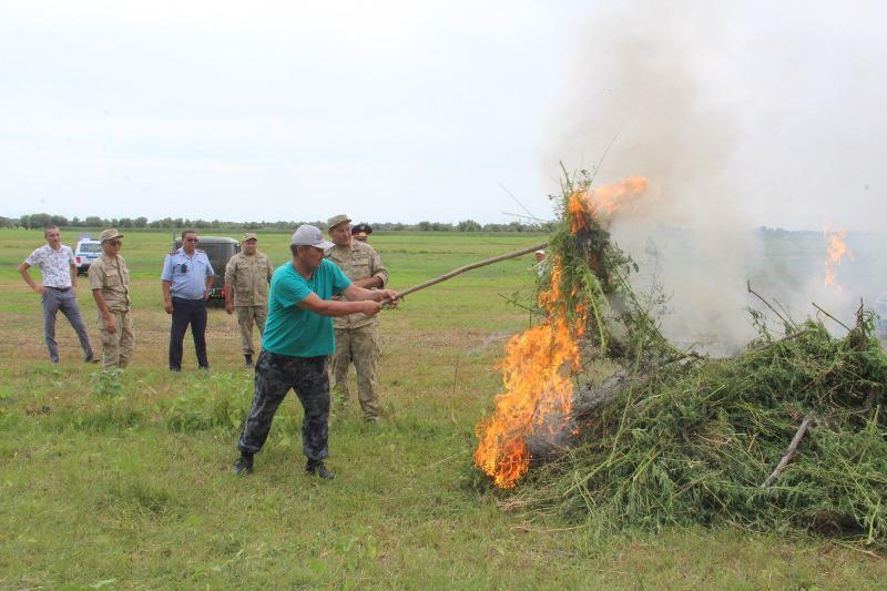 50 тысяч кустов конопли уничтожили в Атырауской области