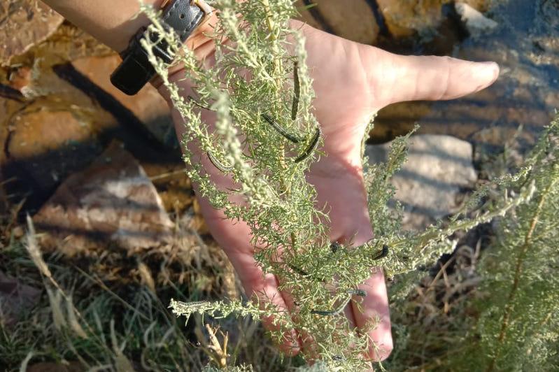 В Актюбинской области нашествие гусениц