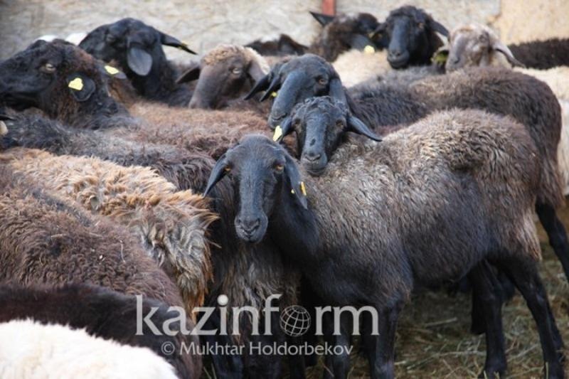 Овец на 8 млн тенге похитил мужчина в Павлодарской области