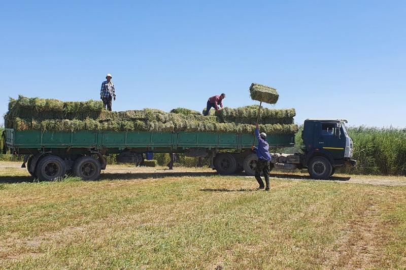 В Кызылординской области заготовлено 45% кормов от общей потребности