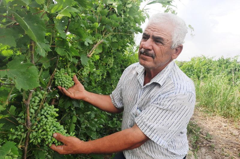 36 сортов яблок и 30 сортов винограда выращивает жамбылский садовод
