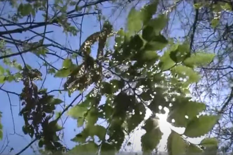Какая работа проводится в Шымкенте для борьбы с вредителями,уничтожающими карагач