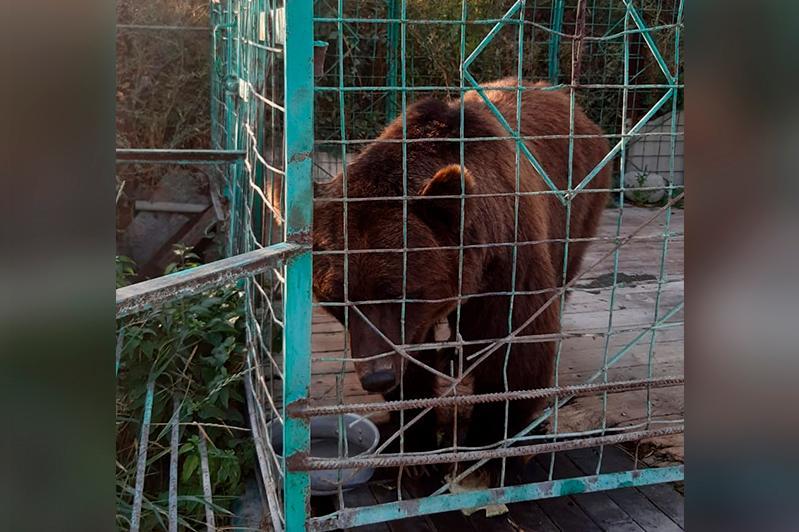 Укусившую 5-летнюю девочку медведицу транспортируют в СКО