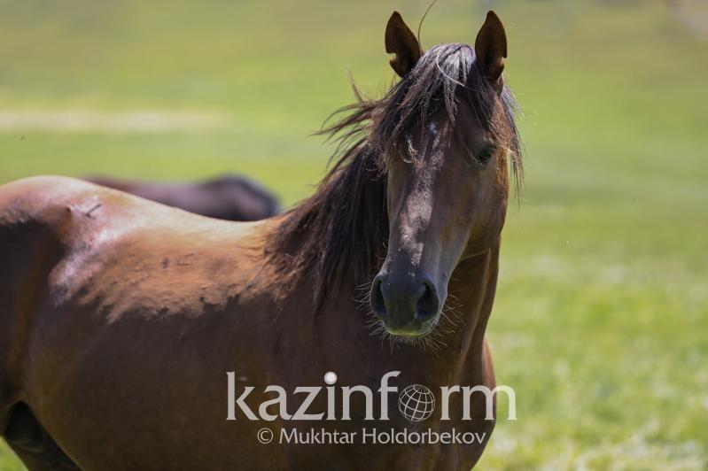 农业部:年初至今哈萨克斯坦马匹数量增长9.6%