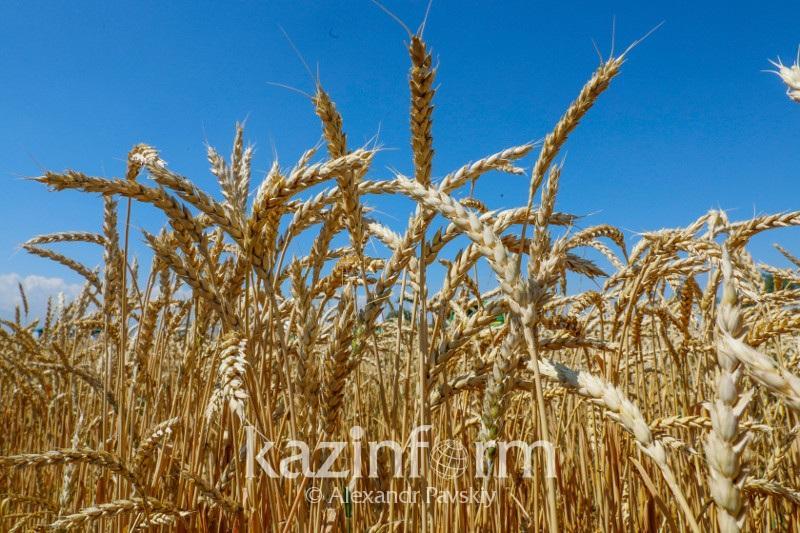 农业部:截至目前哈萨克斯坦已脱粒粮食1200万吨