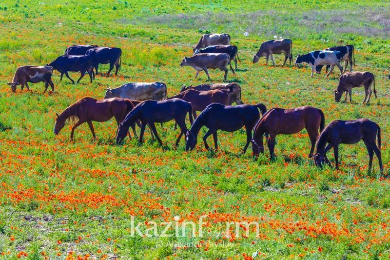Названо количество погибшего скота в Мангистауской области