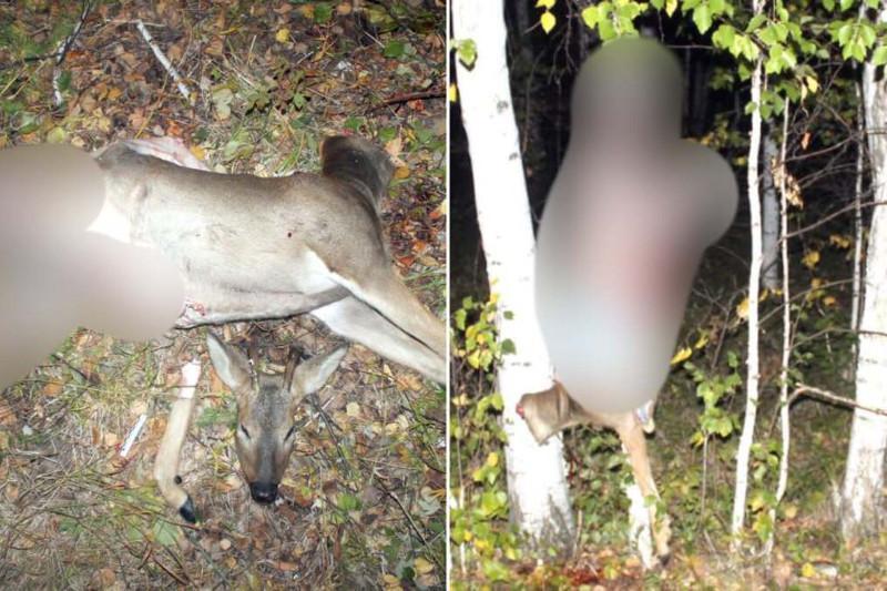Двух косуль на территории госзаказника отстрелили браконьеры в СКО