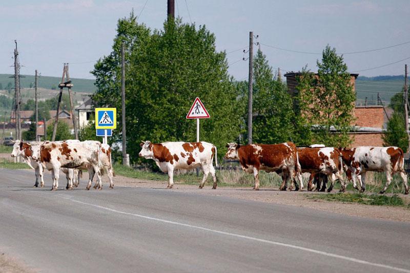 Более 4,4 тысячи владельцев  скота привлекли к ответственности в СКО