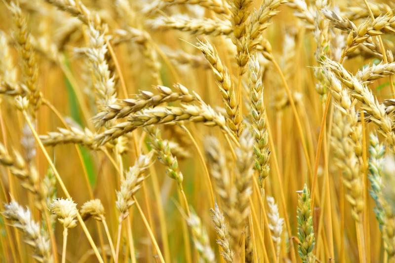 Уборка урожая завершается в Акмолинской области