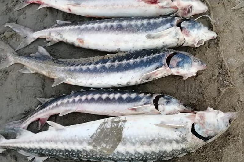 Браконьера с крупной партией рыбы осетровых пород задержали в Мангистау