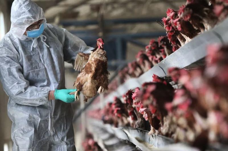 Все поголовье уничтожат в очаге птичьего гриппа в СКО