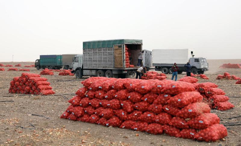 Более одного миллиона тонн лукасобрали жамбылские аграрии