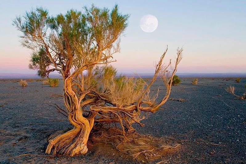 哈萨克斯坦将进一步扩大咸海干涸海床区域的梭梭树种植面积