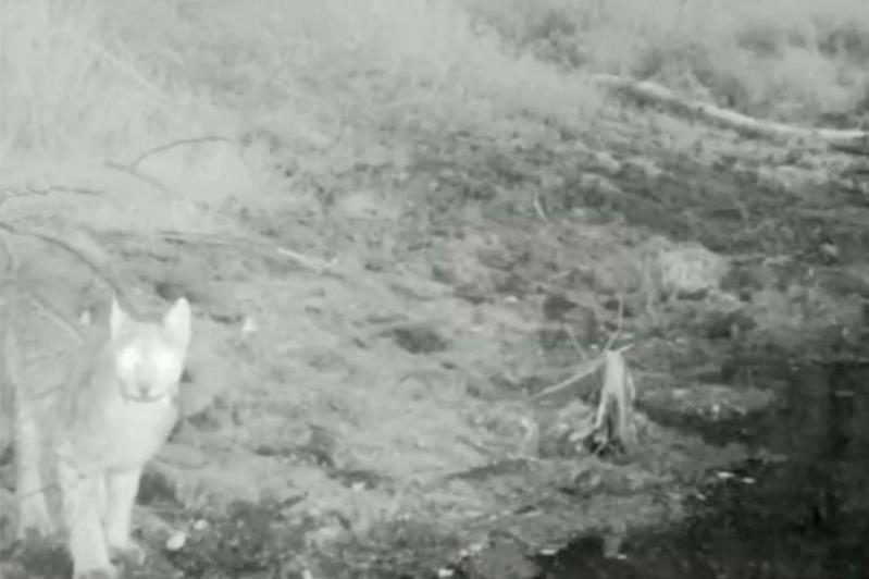Редкий обитатель попал в объектив фотоловушки нацпарка «Бурабай»