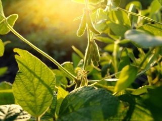 Soybeans to be grown in Kyzylorda region