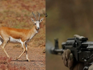 Poachers detained for shooting Red Book goitred gazelle