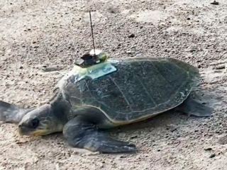 Researchers use sea turtles to predict ocean temperature change