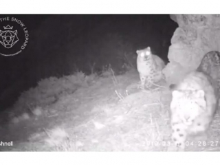 Trail camera captures snow leopard with cubs in mountains near Almaty