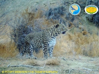 Persian Leopard caught by trail camera in Kazakhstan
