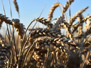 Pandemic boosts wheat's strategic importance