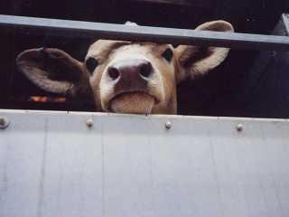 Четырех водителей наказали за перевоз скота без документов в Туркестанской области